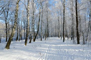 Picturesque winter birch grove in hoarfrost