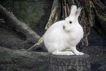 Weißer Hase auf einem Baumstamm