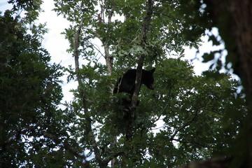 Bear grabbing lunch
