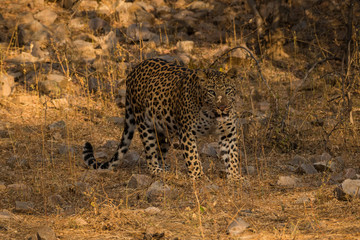 An early morning encounter with a ghost or one of the most elusive animal of the jungle at Ranthambore National Park, India