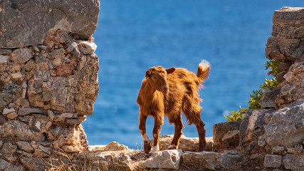 Goat lookout from a rocky outcrop in Loutro, Crete