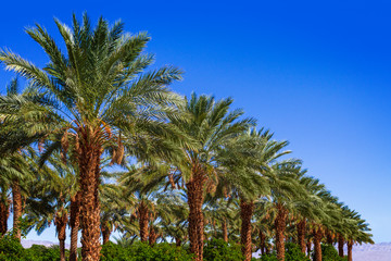 Row of palm date trees in a row with clear blue sky, in the Coachella Valley
