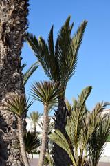 Date palm (Phoenix dactylifera, ) in Agadir, Morocco