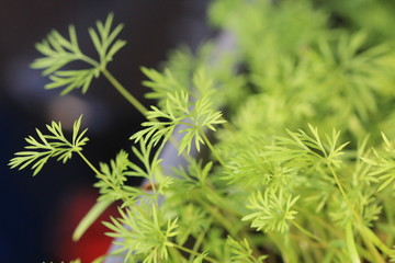 the young shoots of fennel, tender greens for salads