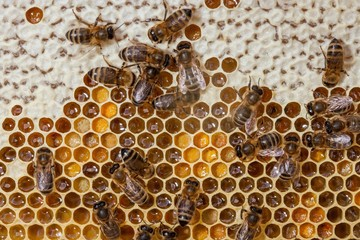 Honey bees on a hive filled with honey and pollen, where some cells are closed and some are still open