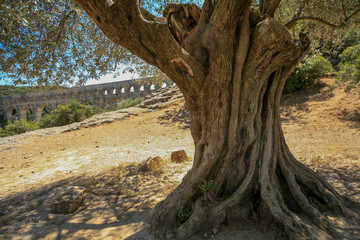 Olive tree at Pont du Gard, France