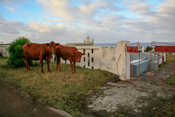 Cows on a cemetry (graveyard) on the island Sint Eusatius in the Caribbean