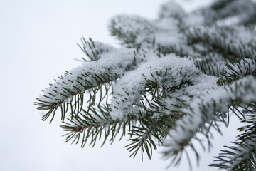 Branches and needles of spruce covered with snow in the winter forest in Finland