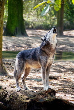 Gray Wolf Howling