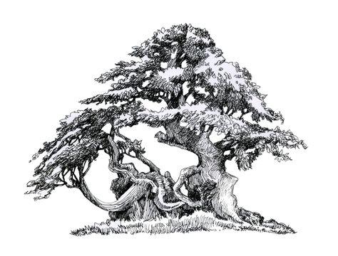 Tree on a tray, deciduous bonsai.