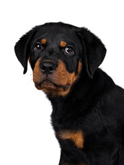 Head shot of cute Rottweiler dog puppy sitting side ways and looking straight at lens with dark sweet eyes. Isolated on white background.