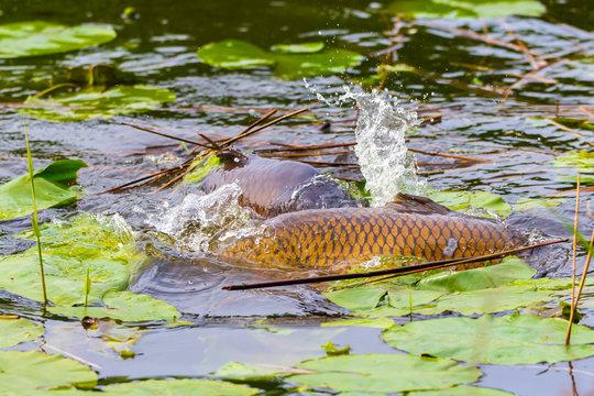 Common European carp (Cyprinus carpio) spawning violent during Springtime breeding season.