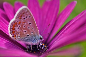 Schmetterling Deutschlands - Himmelblauer Bläuling