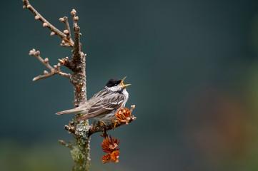 Blackpoll Warbler Singing Fotobehang