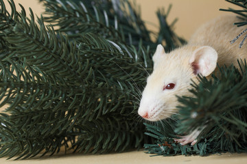 The rat is a symbol Of the new year 2020. Decorative Rat breed Husky sits on the branches of an artificial Christmas tree