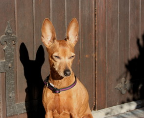 small puppy of dog of breed zwerg pinscher of brown or red fawn tan.