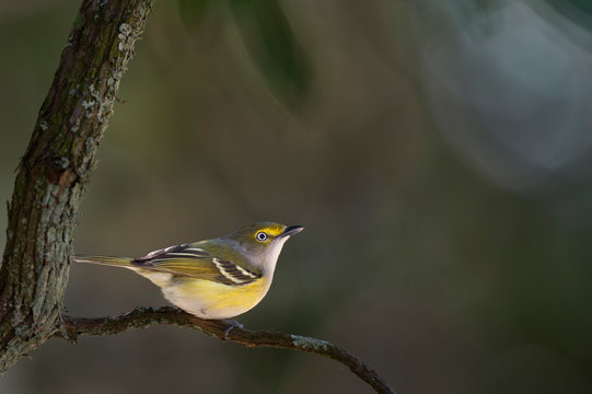 Perched White-eyed Vireo
