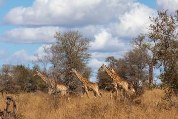 Giraffe 26
