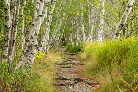 Birch Forest And Trail In Acadia National Park