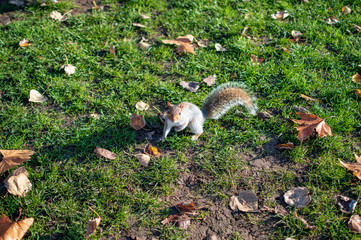 A squirrel in hyde park looking for food