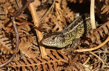 A rare Sand Lizard (Lacerta agilis) sunning itself in the undergrowth.