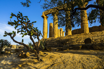 A Prickly pear near the ruins of the Temple of Juno at Valle dei Templi (Valley of the Temples), Agrigento, Sicily, Italy