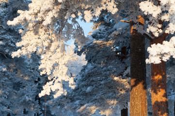 Snow and frost covered pine trees. Focus on tree branches.