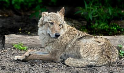 Grey wolf. Latin name - Canis lupus