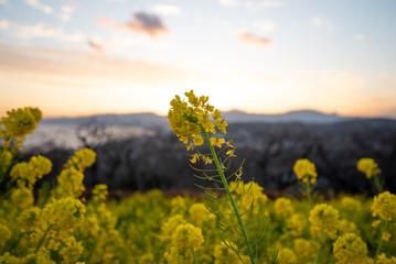 夕暮れ時の菜の花