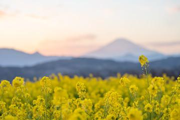 夕暮れ時の菜の花と富士山