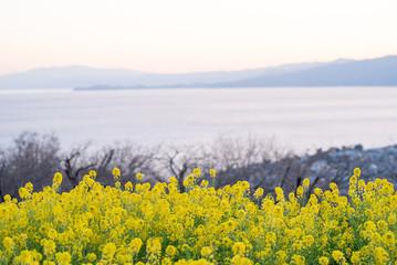 海と山と菜の花