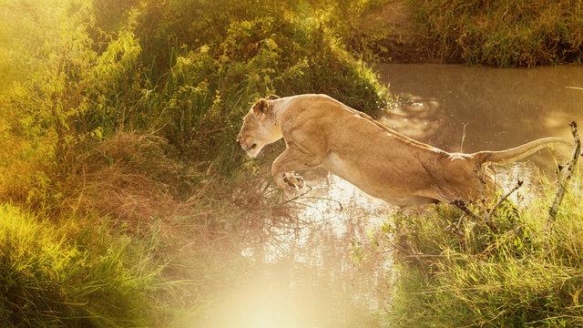 Löwe- Kraftvoller Sprung einer Löwin in schönem Gegenlicht