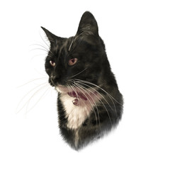 Cute black cat with white breast and mustache isolated on white background. Portrait of pet. Realistic drawing of a cat. Good for print T-shirt. Hand painted illustration. Animal art collection