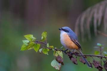 Grey-backed Shrike on branch in nature