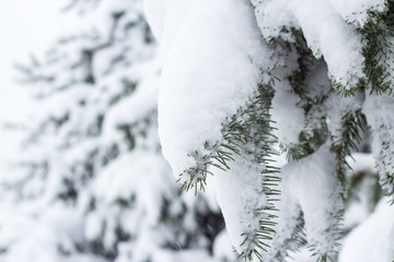 Fir trees covered snow Beautiful Winter landscape scene background with snow covered trees Beauty winter backdrop Frosty trees in snowy forest Branches with snow Winter pattern or background