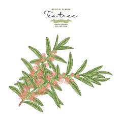 Hand drawn tea tree branches with flowers isolated on white background. Melaleuca plant. Vector botanical illustration.