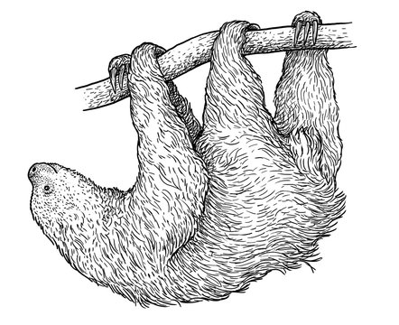 Sloth illustration, drawing, engraving, ink, line art, vector