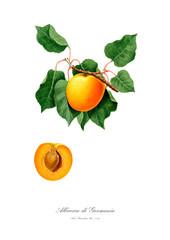 Apricot vintage watercolour illustration