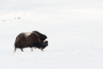 Musk Ox walking in snow during cold winter