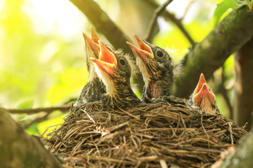 Baby birds in a nest on a tree branch close up in spring in sunlight Wall mural