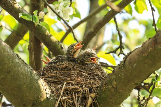 Baby birds in a nest on a tree branch. Chicks in spring in sunlight