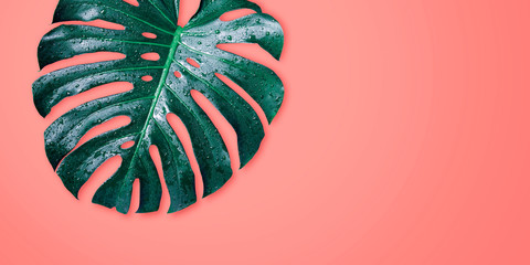 Wall Mural - Monstera tropical leaves on coral color background minimal summer