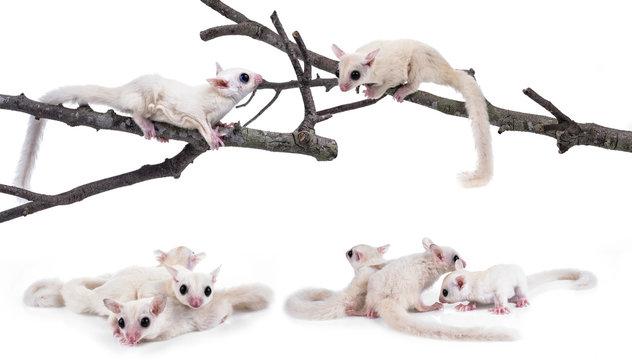 Australia sugar glider on white background