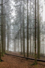 Foto op Canvas Bos in mist beautiful image of tall pine trees in the forest on a cold morning with haze on a winter day in the Belgian Ardennes