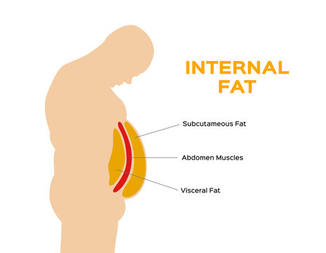 human belly and abdomen fat layer vector / subcutaneous and visceral fat