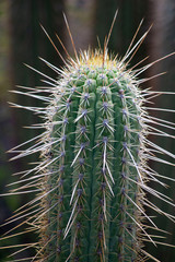cactus with large needles close-up. shooting in the mountains. reflection of light from the sun from the back