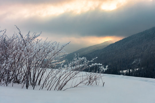bush on the meadow in mountain at sunrise. beautiful winter scenery. overcast gloomy sky. cold weather