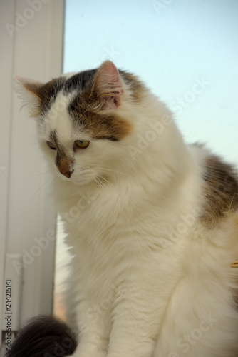 fa242825ed Turkish Van cat breed
