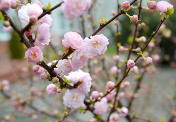Almonds three-blade (Prunus triloba Lindl.), branches with flowers