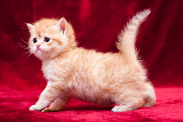 A small orange British kitten stands on four legs in front of the camera with its tail up